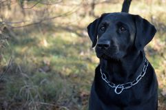 `Maxwell` Male Black Lab offset. Proud strong award winning Black Lab Retriever portrait offset. This photo is suitable for a variety of commercial background Royalty Free Stock Photo