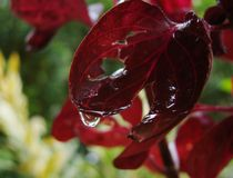 Red Acalypha Wilkesiana Copperleaf And Jacobs Coat Stock Image