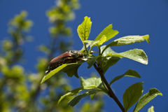 May beetle. Stock Images