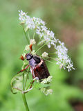 May beetle. A may beetle on a white blossom Royalty Free Stock Photography