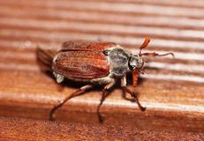 May beetle Stock Photos