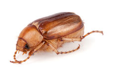 May beetle or Cockchafer or Melolontha isolated on white background stock image