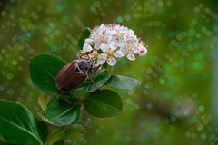 The may beetle. The may beetle and the color is ash Stock Images