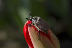 The may beetle on the flower. Stock Image