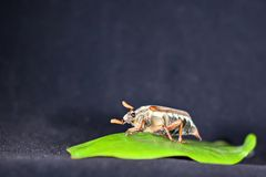 May beetle on a green leaf Stock Photography