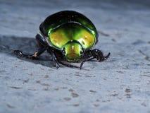 May beetle,june beetle,Anomala expansa expansa Stock Images