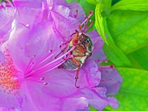 May beetle. Large insect in rhododendron flower. Large petals pink. Green leaves royalty free stock photos