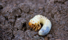 May beetle larva Stock Photo