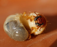 May beetle larvae - Melolontha melolontha Royalty Free Stock Photography