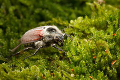 May beetle. Macro side-view of cockchafer bug (Melolontha melolontha) over green moss background Stock Image