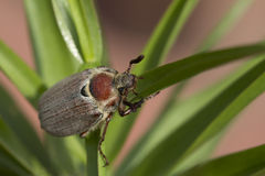 The may beetle (Melolontha). Royalty Free Stock Photo
