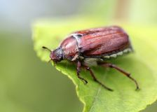 May beetle sitting on a leaf. May beetle sitting on a twig with fresh leaves in grey back Stock Photography