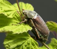 May beetle sitting on a twig Royalty Free Stock Photography