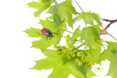 May beetle on young maple leaves. May beetle sitting on young maple leaves isolated over white Stock Images
