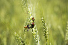 May Beetles. Fight for Love in a field of wheat Stock Photography