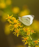 Mały biały motyl Obrazy Royalty Free