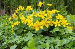 May blobs blooms. Photo of close up marsh marigold bloom royalty free stock photo
