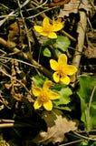 May blobs. Photo of close up marsh marigolds royalty free stock photos