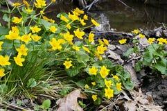 May blobs. Photo of close up marsh marigolds stock image