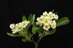 May blossom against black. Hawthorn flowers and foliage isolated against black Stock Image