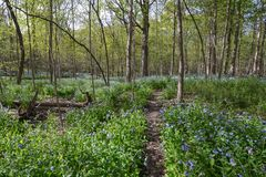 May Bluebell Forest Fantasy Stock Photography