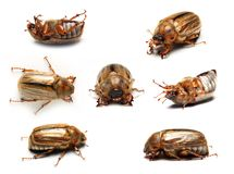 May-bug stockfotos