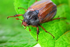 May-bug Stock Photography
