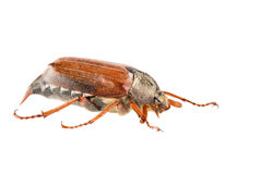 May bug. Isolated on the white background Royalty Free Stock Images