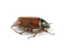 May-bug. Isolated on white background royalty free stock images