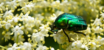 May-bug Fotografia Stock