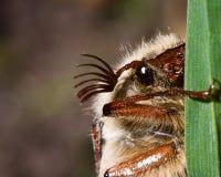 May bug Royalty Free Stock Photos