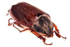 May bug Royalty Free Stock Photography