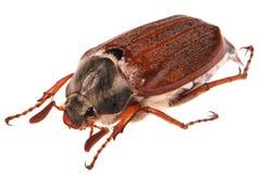 May bug. Macro isolated on white Royalty Free Stock Image