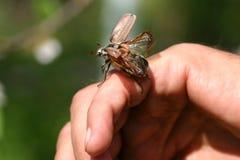 Free May-bug Royalty Free Stock Photo - 2530455