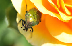 May Bug. A may bug on a orange rose royalty free stock images