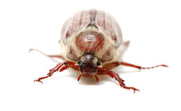 May bug Royalty Free Stock Images