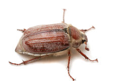 May bug Royalty Free Stock Image