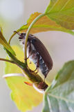 May-bug Stock Images