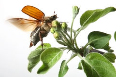 May-bug stockfoto