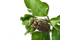 May-bug Stockbild