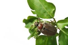 May-bug Stock Image