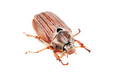 May-bug also cockchafe ,tree beetle Royalty Free Stock Photos
