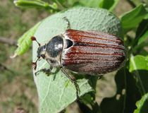 May-bug beetle in leaves Royalty Free Stock Photography
