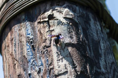 May bug beetle Stock Image