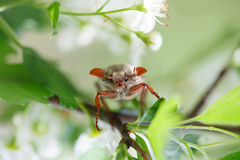 May bug on blooming tree Royalty Free Stock Image