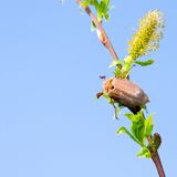 May-bug on a branch Royalty Free Stock Photos