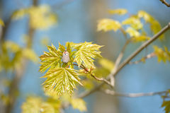May bug on a branch of maple Stock Photography