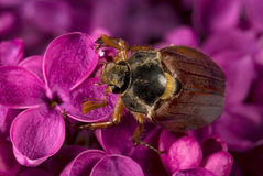 May-bug climbing on the violet lilac flowers Stock Photos