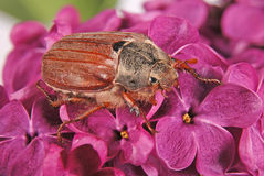 May-bug climbing on the violet lilac. Royalty Free Stock Photography