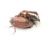 May-bug Royalty Free Stock Photos